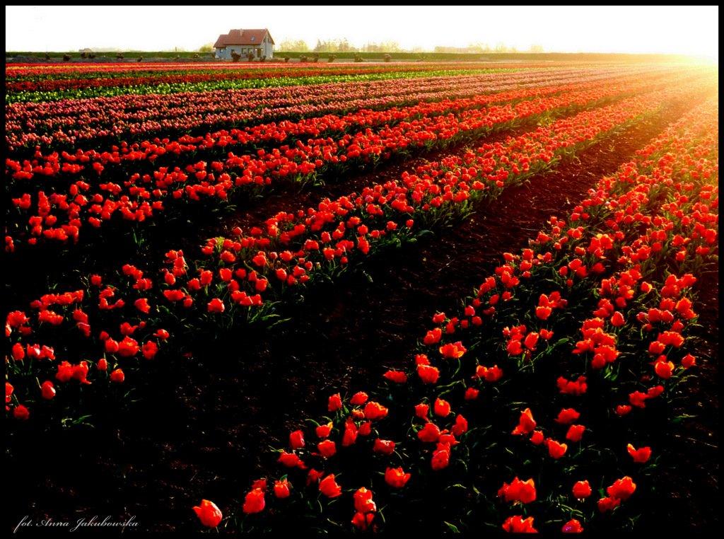 anna-jakubowska_pola_tulipanowe_5a_01